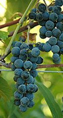 Buy Grape Vines